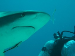 Scuba Diving with Sharks in Grand Bahama