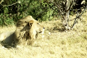male lion soaks in sun